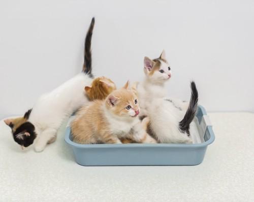 沢山の子猫が入るトイレ