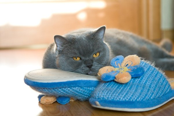 スリッパに顎を乗せる灰色猫