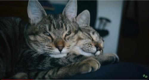 2匹のキジトラ