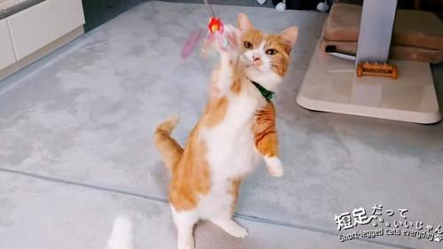 立ち上がっておもちゃに前足を伸ばす猫