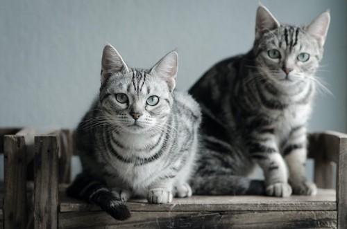こちらを見つめるそっくりな柄の2匹の猫