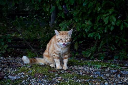 茶トラの野良猫