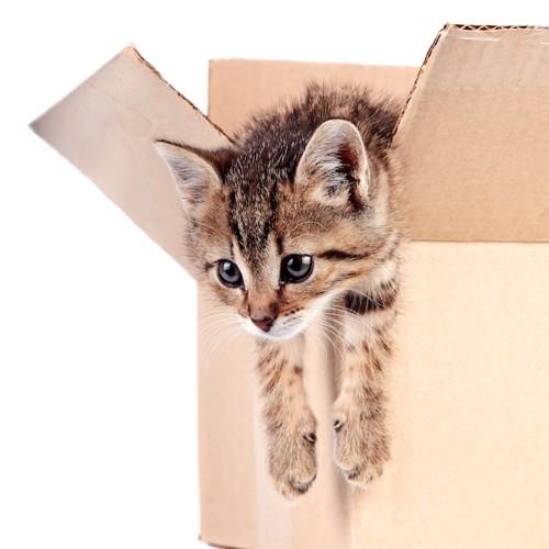 ダンボールから上半身を出す子猫