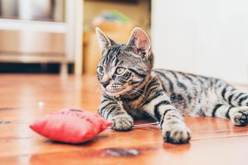 フローリングに横たわる猫とおもちゃ