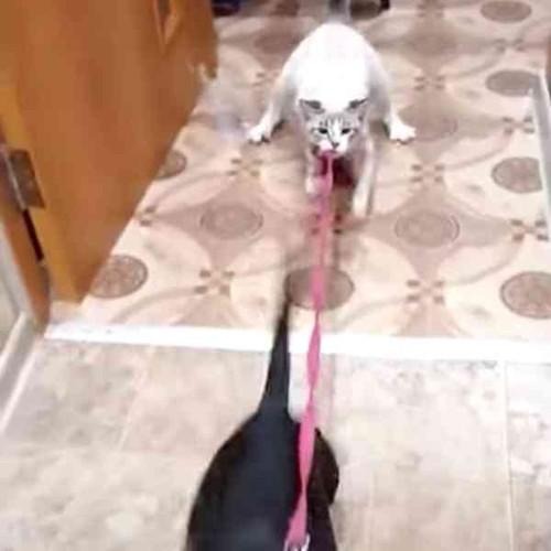 グイグイ引っ張る猫