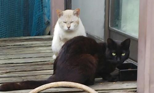一緒にご飯を食べているクロちゃんとボス猫