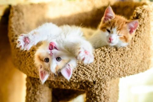 キャットタワーで寛ぐ2匹の子猫