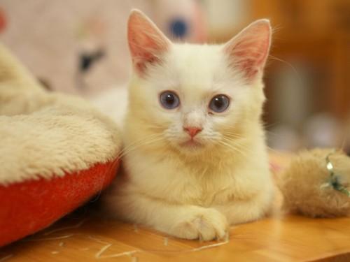 猫カフェ:青い目の白子猫