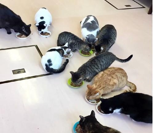 ごはんを食べるニャイダーハウスの猫たち