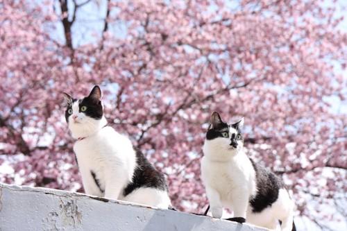 満開の桜の木の下にいる二匹の猫
