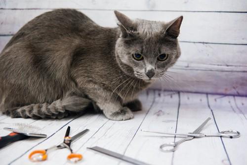 ハサミを見る猫