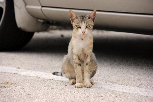 駐車場カメラ目線の猫