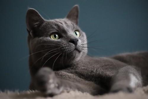 ふてぶてしい態度の黒っぽいロシアンブルー