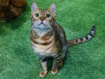 ヒョウ猫の森スタッフのベンガル猫ダイヤ