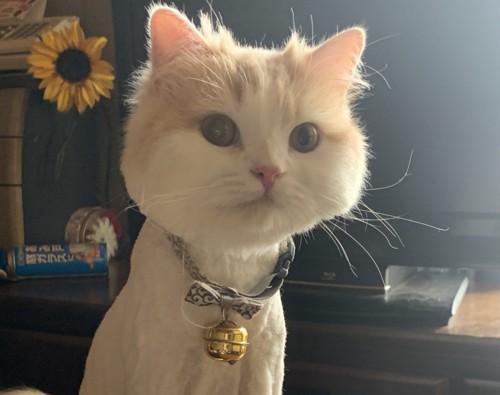 ライオンカットの猫