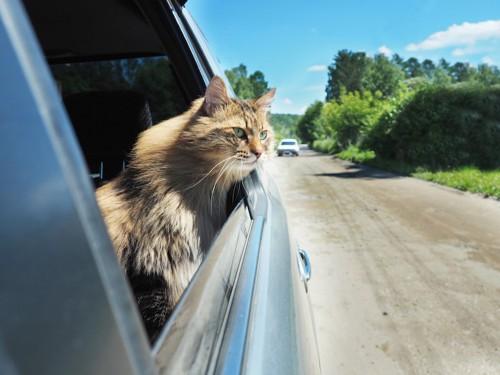 車の窓から身を乗り出す猫