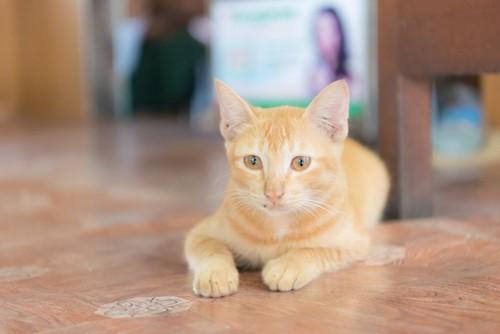 何かを見つめる茶トラの猫