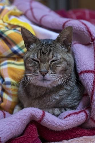 毛布の上で寝る老猫