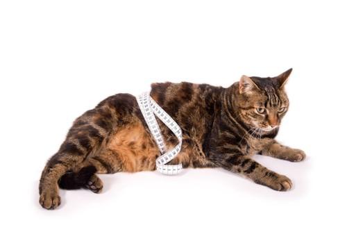 お腹にメジャーを巻いてる猫