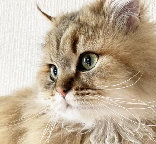 ペルシャ猫の顔アップ