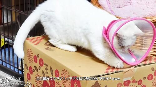 ダンボールを掘る猫