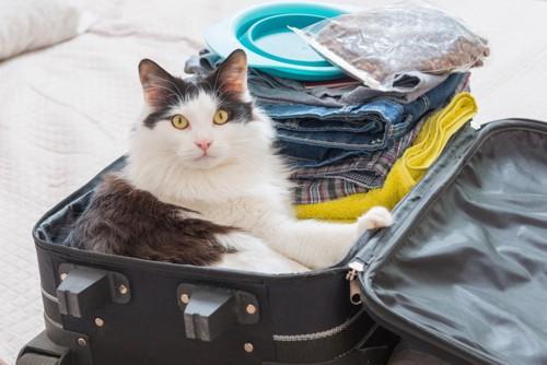 旅行鞄の中のハチワレ猫