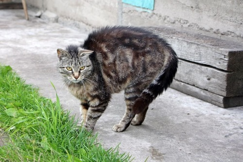 身体を膨らませて威嚇する猫
