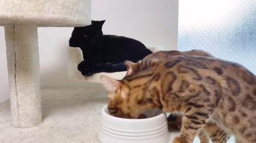 ごはんを食べる首輪をしていない猫
