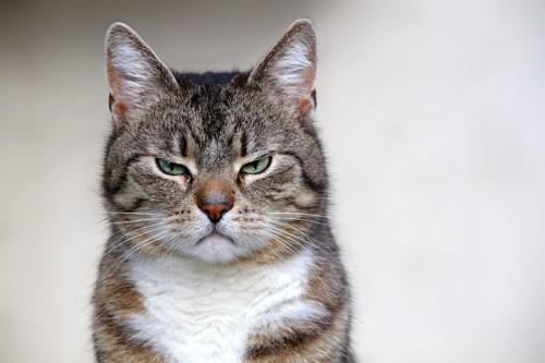 不満そうな顔の猫