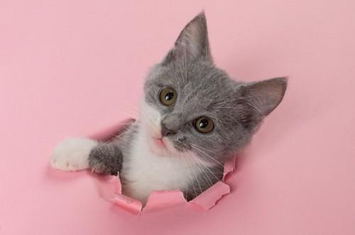 紙を突き破る猫