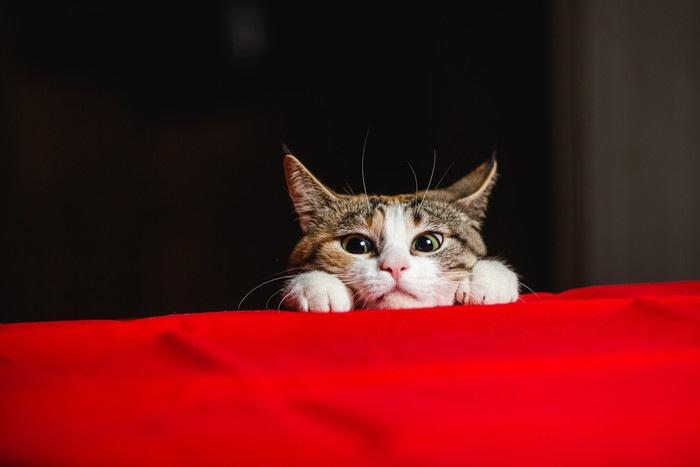 赤いテーブルクロスと猫