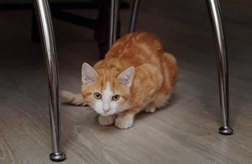 椅子の下にいる猫