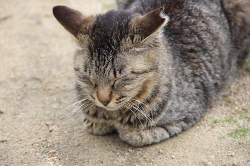 耳をカットされた猫
