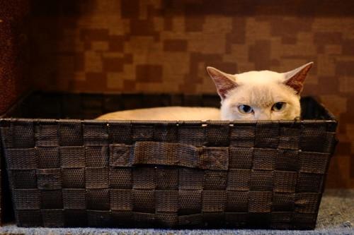 籠の中から頭を覗かせる猫