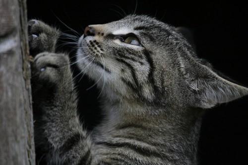 爪を研ぐサバトラ