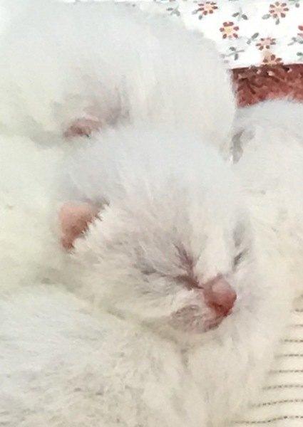 産まれたばかりの白猫の子猫