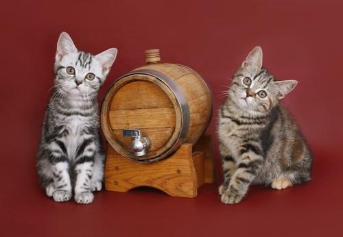 シルバータビーとブラウンタビーの子猫