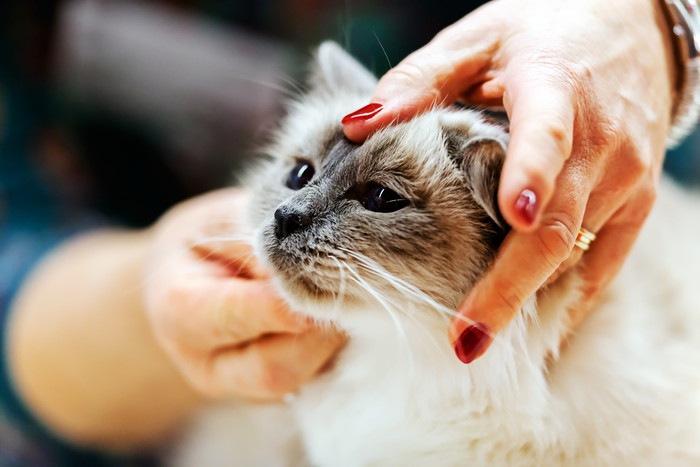 女性に頭を触られる猫