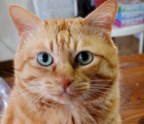 すまし顔の茶トラ猫