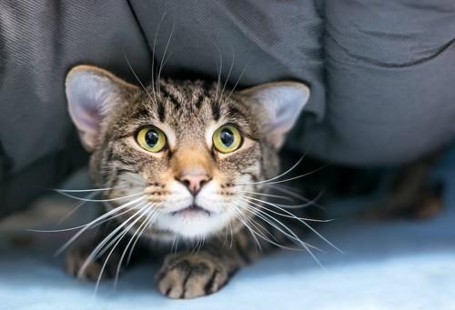 怯えた表情で布団に隠れる猫