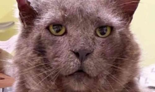グレー猫の顔のアップ
