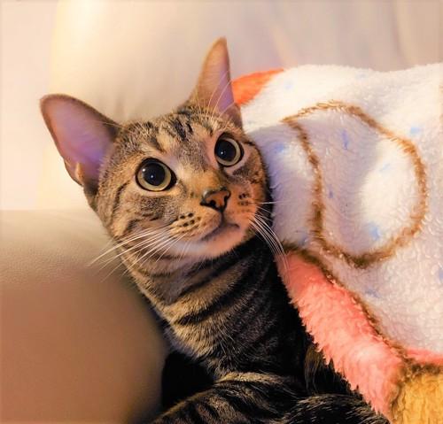 毛布をかけてもらった猫