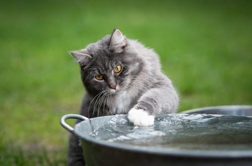 たらいの水にタッチする猫
