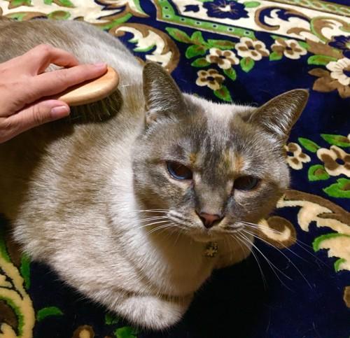 香箱座りでカメラ目線の猫