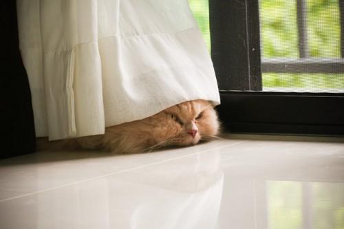 カーテンの下から顔を見せる猫