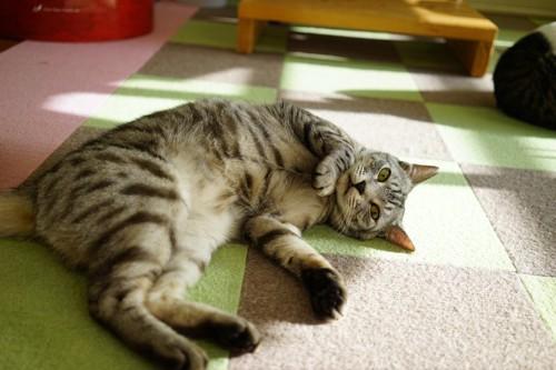 床で横たわるキジトラ猫