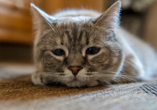 寂しそうな顔の猫