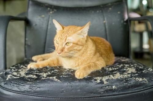 ソファーで爪を研ぐ猫