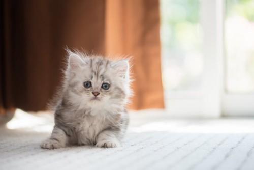 不安げにこちらを見つめる子猫