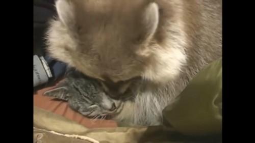 猫を抱きしめるアライグマ